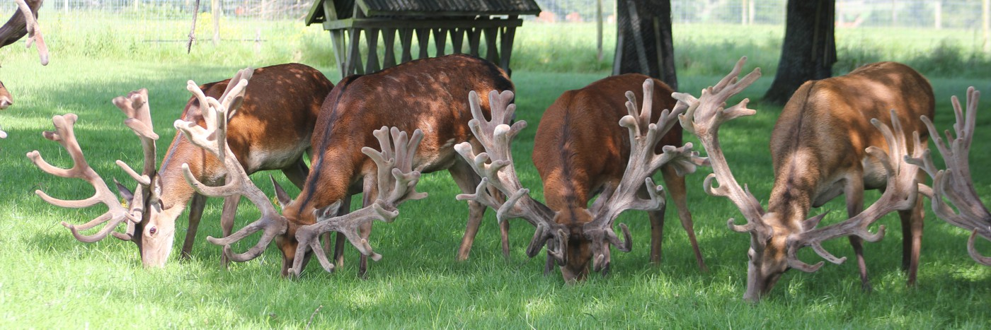 Deer-Stags-in-Paddock-Feeding